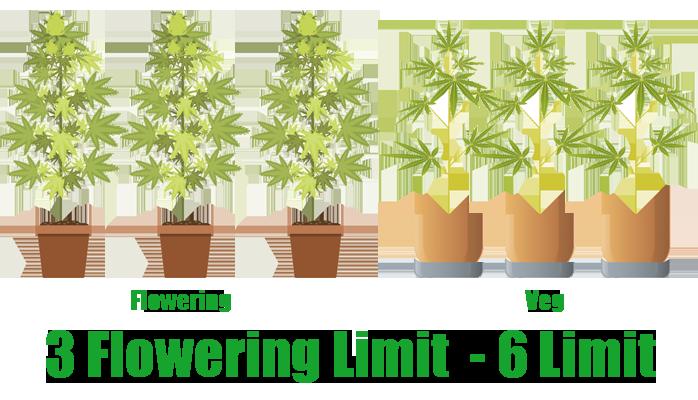 growing cannabis plants limit in colorado law