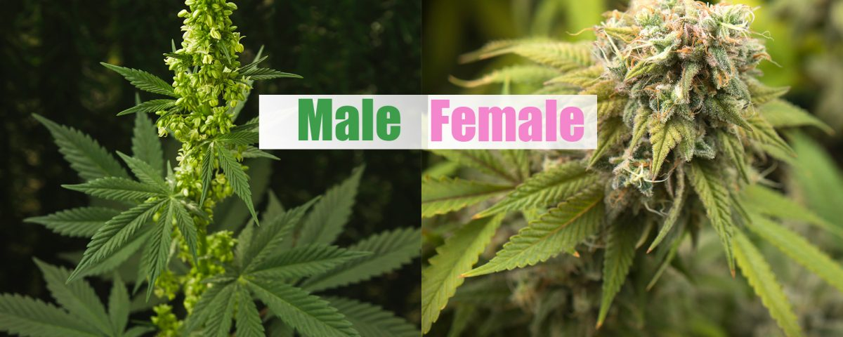 male vs female cannabis plant