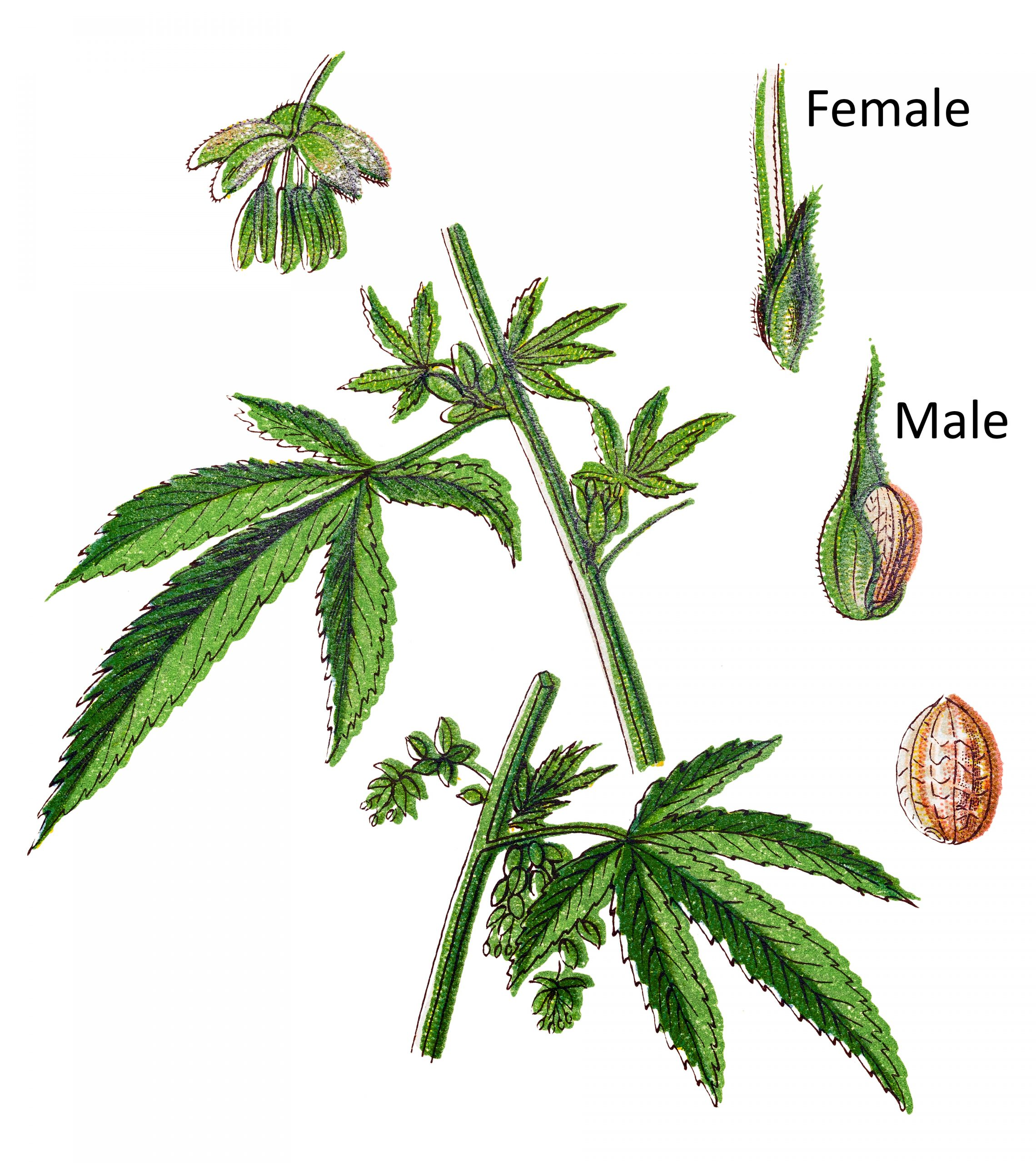 how to tell if a pot plant is male or female