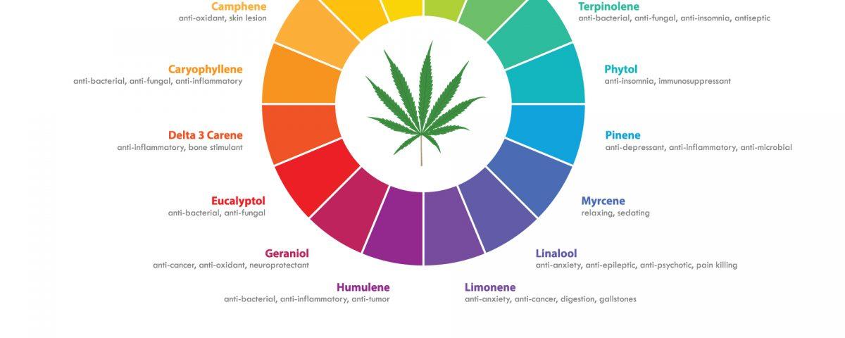 marijuana terpenes infographic