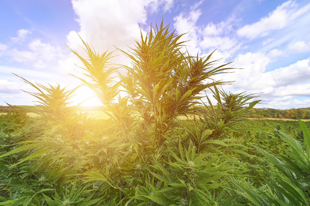 cannabis out doors